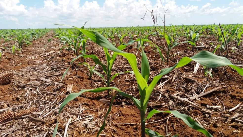 MS deve produzir cerca de 9 milhões de toneladas na segunda safra de milho, segundo primeiras previsões — Foto: Anderson Viegas/G1 MS