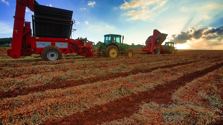 Colheita de amendoim em fazenda na regio (Foto: Silva Junior/Ed. Globo)