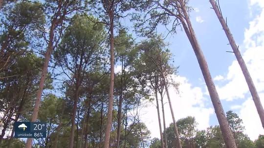Empresa responsável pela retirada de pinheiros no Paranoá diz que não há irregularidades