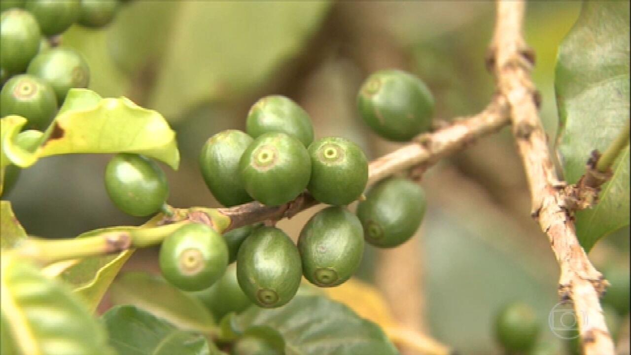 Falta de equipamentos de irrigação prejudica plantações de café em Minas Gerais