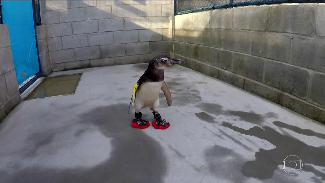 Pinguins usam chinelos para evitar doenças nas patas