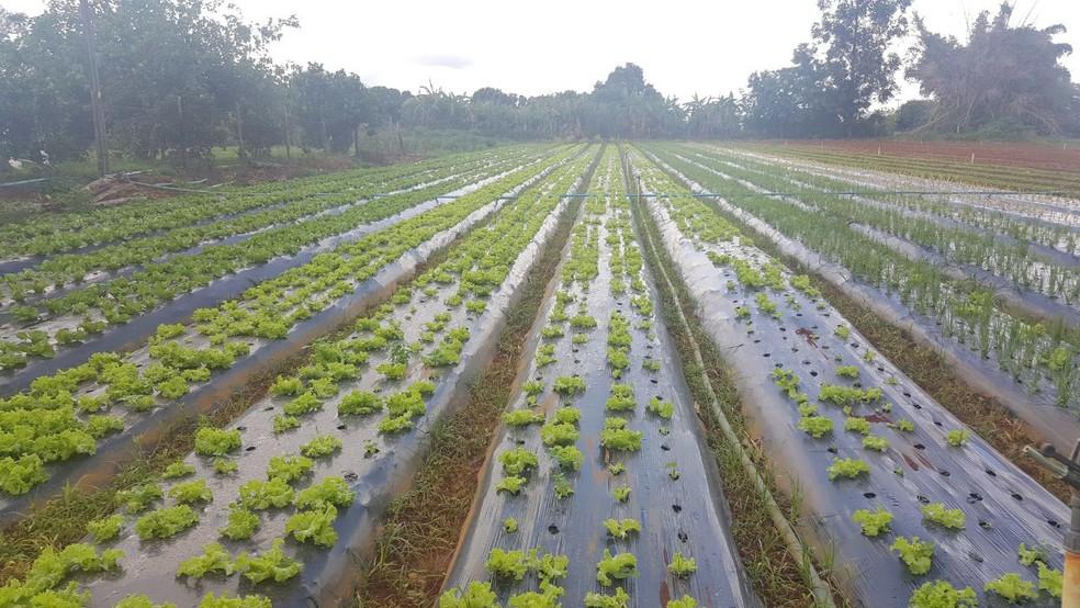 Hortaliças 'irregulares' em plantação de Brazlândia (Foto: Ilmar de Lima/Arquivo pessoal)