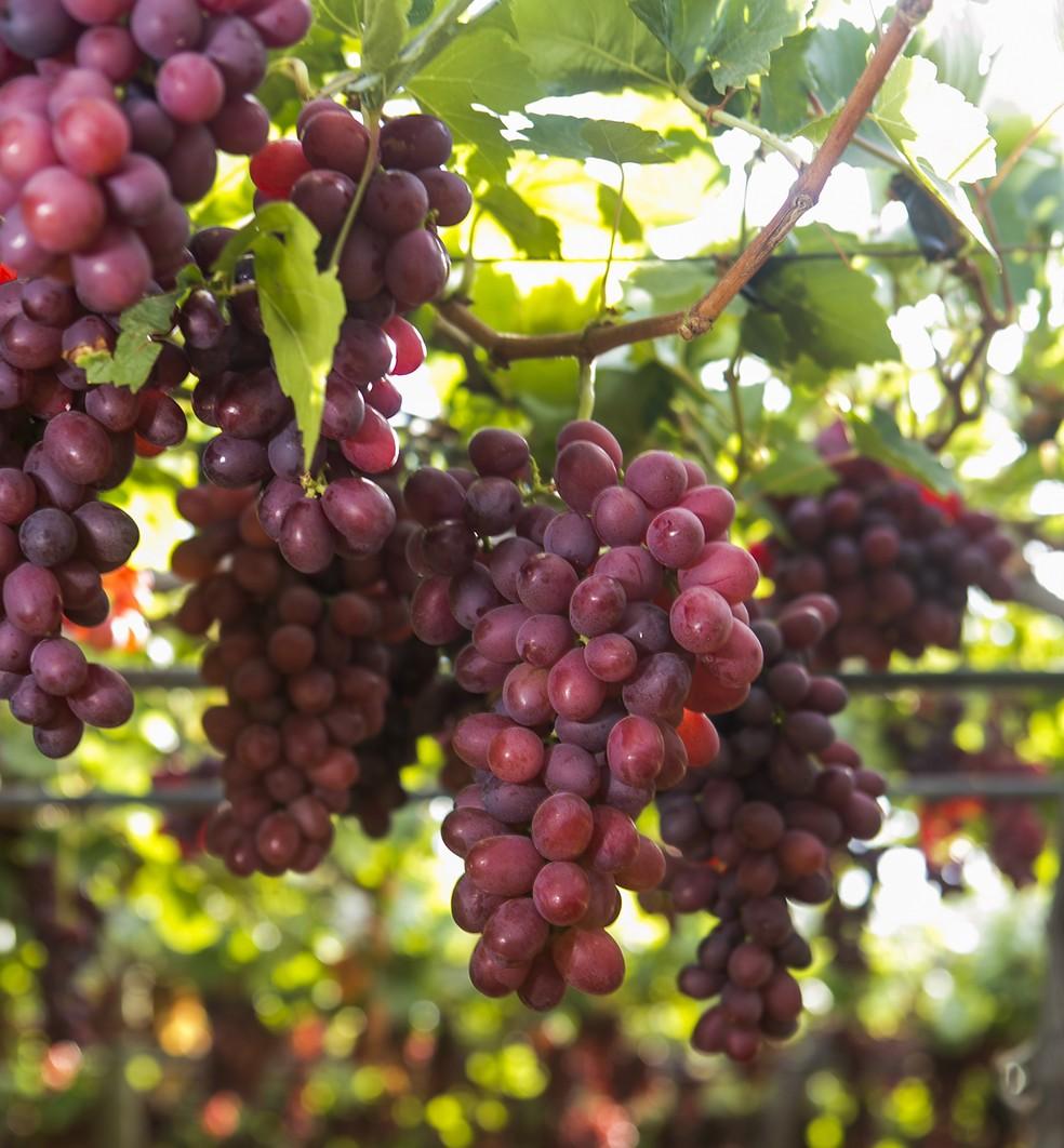 Uvas vermelhas da variedade Sweet Celebration produzidas pelas Fazendas Labrunier, em Petrolina (PE) — Foto: Divulgação/Fazendas Labrunier