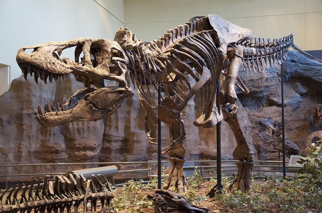 Réplica de esqueleto de Tiranossauro Rex no Museu de História Natural de Carnegie, em Pittsburgh (Foto: ScottRobertAnselmo, via Wikimedia Commons)