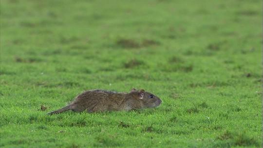 Rato invade campo durante Vasco x Bahia e rende zoações na internet