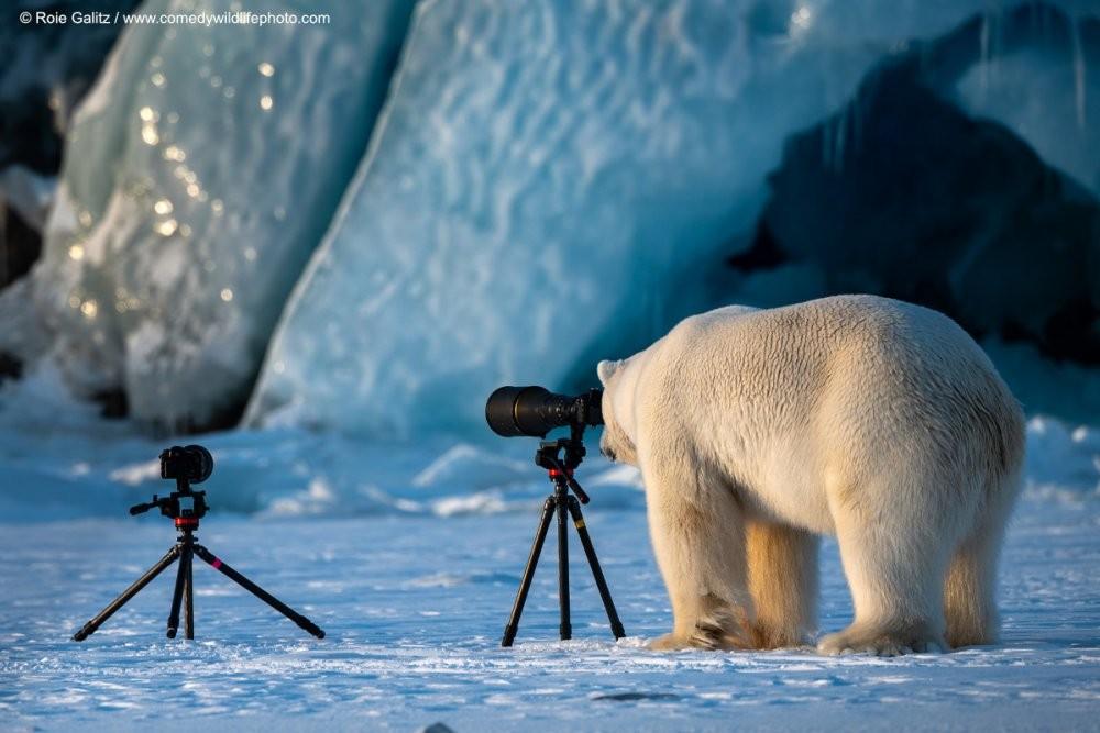 O urso bisbilhoteiro  (Foto: Roie Galitz /  Comedy Wildlife Photography)