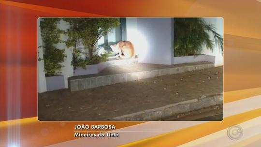 Bombeiros resgatam onça parda 'passeando' pelas ruas em Mineiros do Tietê; vídeo
