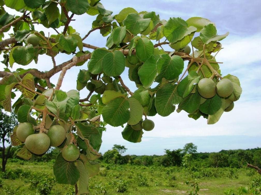 Pequizeiro é uma das árvores símbolos de Mato Grosso — Foto: Empaer/Assessoria
