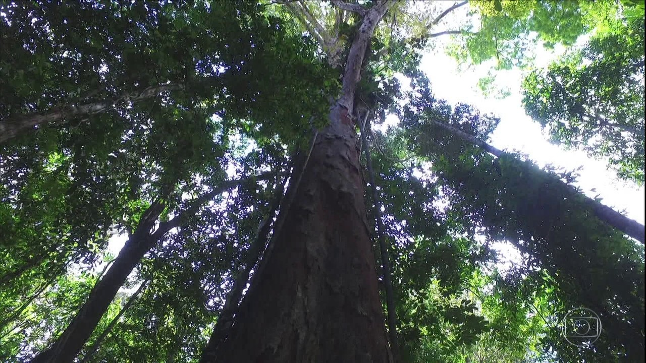 Expedicao chega à maior árvore já identificada no Brasil