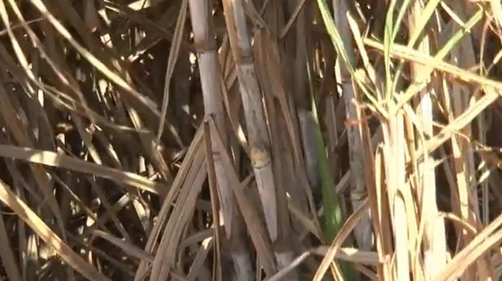 Bagaço da cana-de-açúcar é reaproveitado pela indústria no Paraná e vira energia, ração e plástico  — Foto: Reprodução/RPC