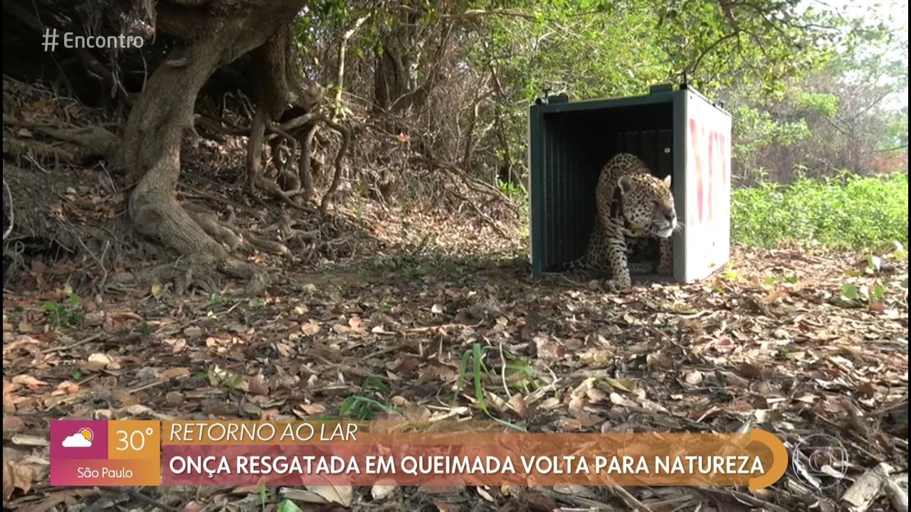 Animais recuperados dos incêndios retornam ao habitat no pantanal