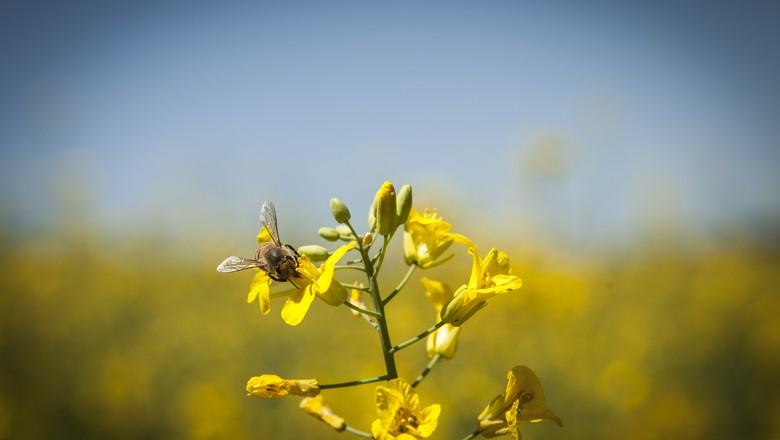 canola-abelha-inseto-flor (Foto: Marcelo Curia/ Ed. Globo)