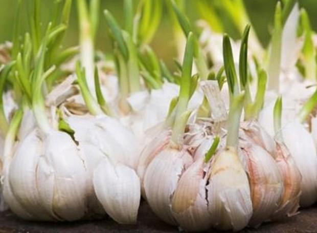 Os brotos nascem dos dentes de alho e podem ser utilizados na comida (Foto: Health Freedom/ Reprodução)