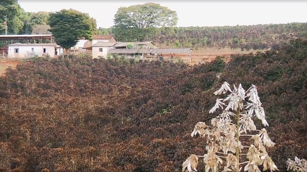A geada afetou as plantações de café em Minas Gerais. — Foto: Reprodução/Globo Rural