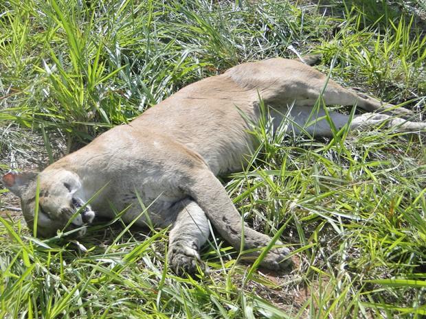 Animal, segundo funcionários, tem cerca de 50 kg e era macho (Fot Edemalges Teixeira/Jornal Folha do Pontal/Cedida)