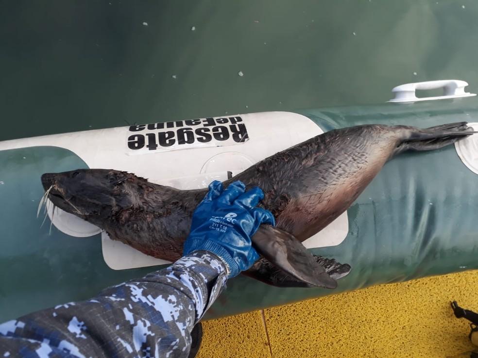 Leão-marinho também foi encontrado morto no Litoral Norte catarinense — Foto: Instituto Anjos do Mar/Divulgação