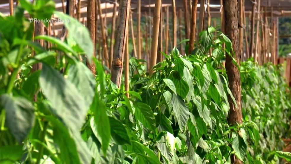 Região de Vilhena é a maior produtora de pimentão em Rondônia — Foto: Reprodução/Rede Amazônica