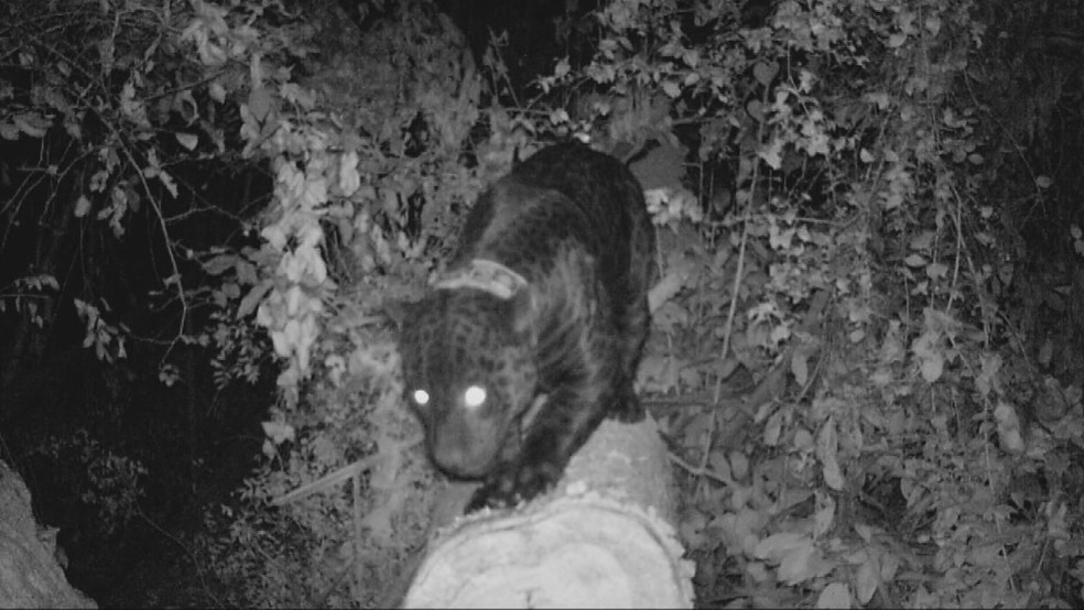 Xangô é registrado por armadilha fotográfica enquanto afiava as garras em árvore (Foto: Instituto NEX)