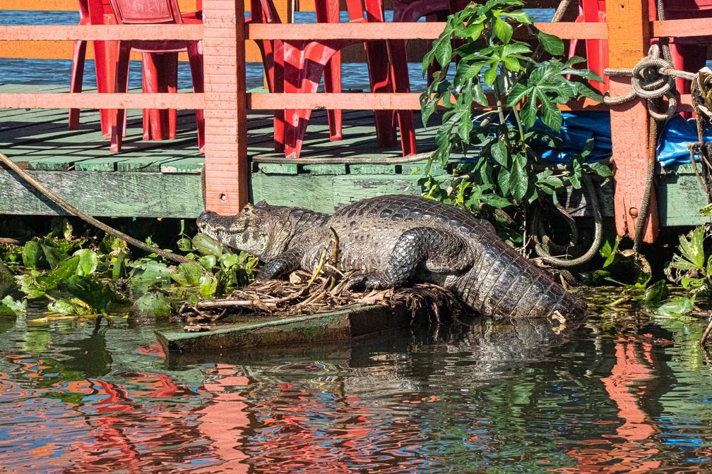 O Pantanal tem hoje uma população estimada de mais de dez milhões de jacarés (Caimam crocodilus yacare) — Foto: Eduardo Palacio/G1