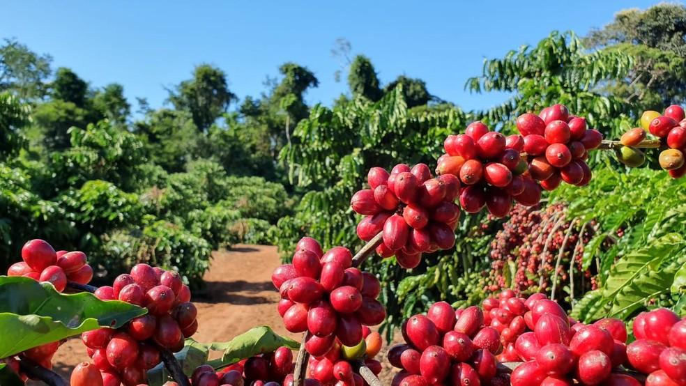 Café robusta amazônico em Rondônia — Foto: Renata Silva/Embrapa Rondônia