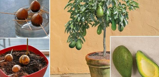 Não jogue a semente fora depois que você comer o abacate (Foto: E-Drug Search/ Reprodução)