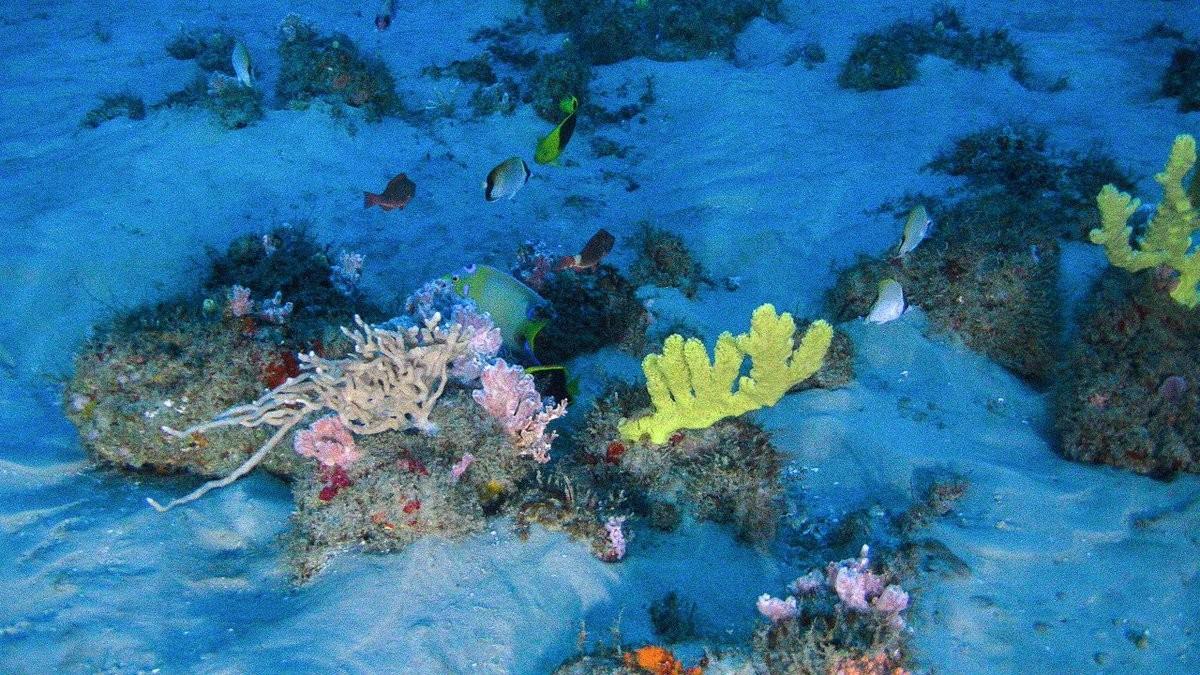 Pesquisadores encontram corais em área da Amazônia que pode ser liberada para exploração de petróleo