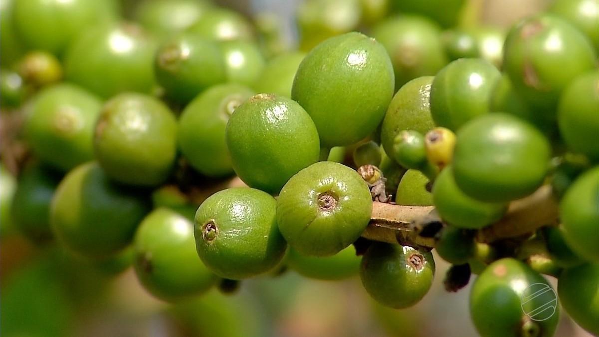 Por causa do calor intenso, produtores de MT devem colher 32% menos café do que em 2016