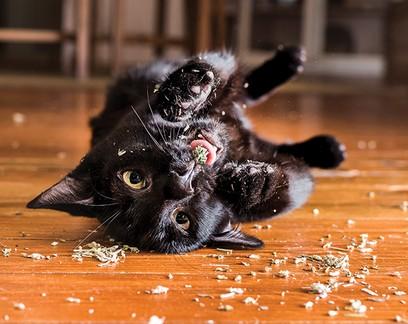 Erva-dos-gatos protege animais de mosquitos, além de deixá-los eufóricos