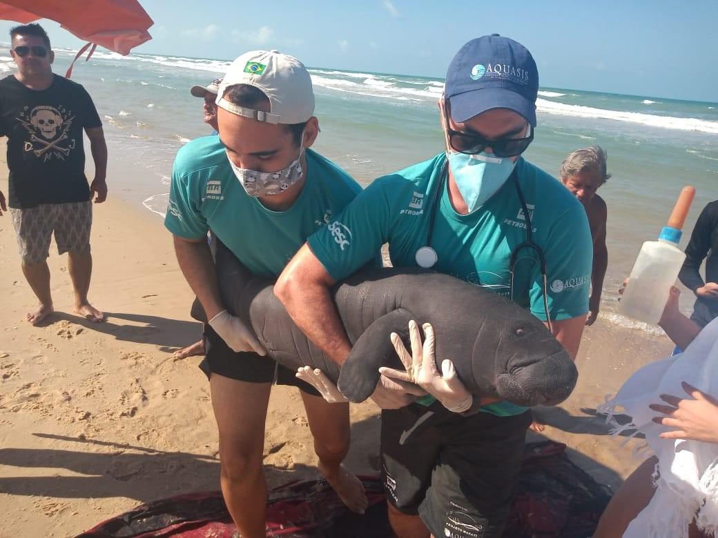 Filhote de peixe-boi encalha na Praia do Morro Branco e é resgatado com ajuda de banhistas