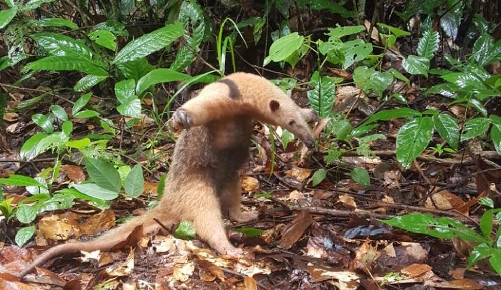 Tamanduá mirim foi um dos animais resgatados  (Foto: BPMA/Divulgação)