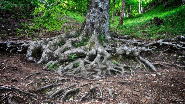 Se não houver redução nas emissões de carbono até 2100, pode haver uma redução de 10% dos fungos ectomicorrizas - e das árvores que dependem deles (Foto: Getty Images)