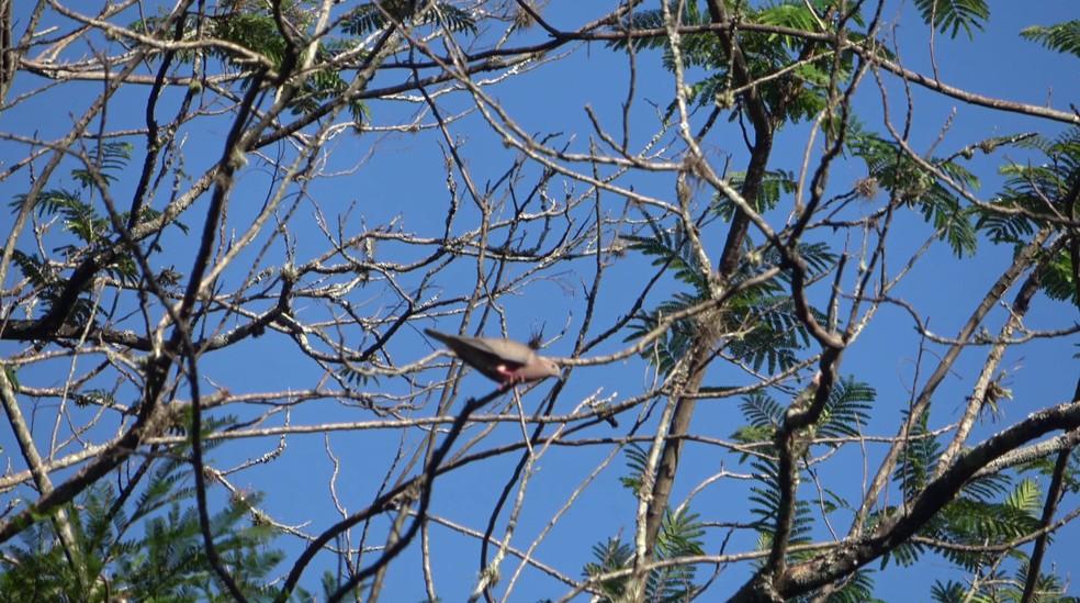 Pombos ficam em árvores na região central de Cianorte — Foto: Raphael Costa/RPC