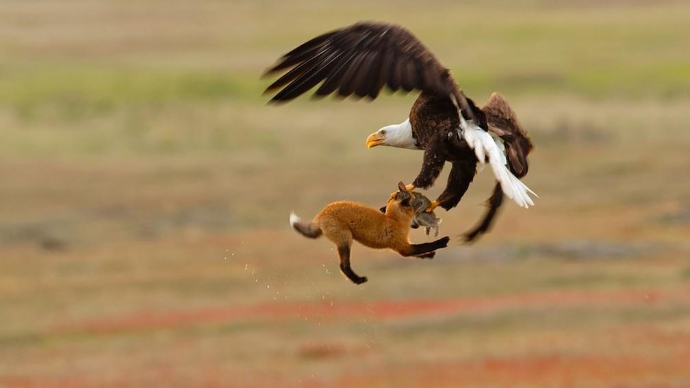Kevin Ebi levou a menção honrosa na categoria profissional ao fotografar uma águia carregando um coelho e uma raposa — Foto: Kevin Ebi/Audubon Photography Awards