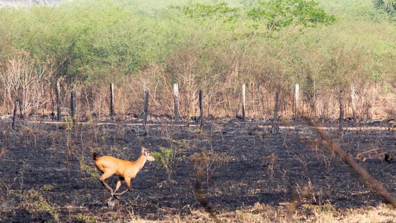 pantanal-incêndios-queimadas (Foto: Chico Ribeiro/Divulgação)