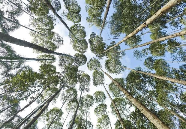Eucaliptos trangênicos criado pela Futuragene, da Suzano Papel & Celulose. Angatuba - Brasil - Floresta - Meio Ambiente - Verde - Árvore (Foto: Claus Lehmann / Editora Globo)