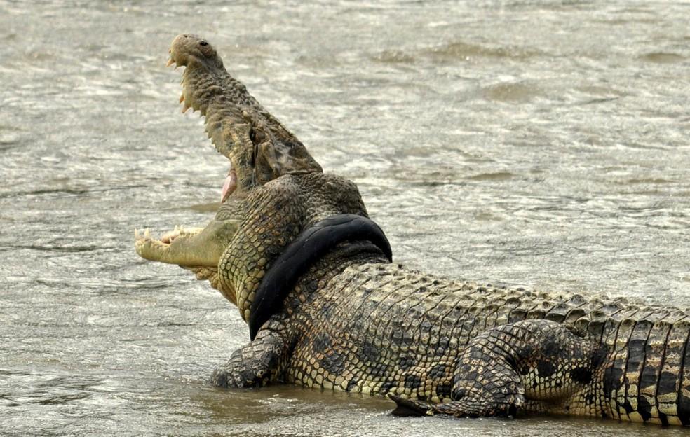 Crocodilo permanece há pelo menos dois meses com pneu de moto em torno de seu pescoço na Indonésia (Foto: Antara Foto/Mohamad Hamzah/Reuters)