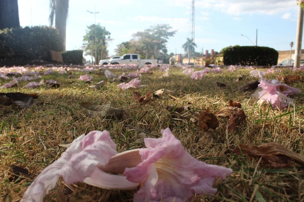 Flores e 'shallow now' de ipê rosa, em Porto Velho.  — Foto: Pedro Bentes/G1