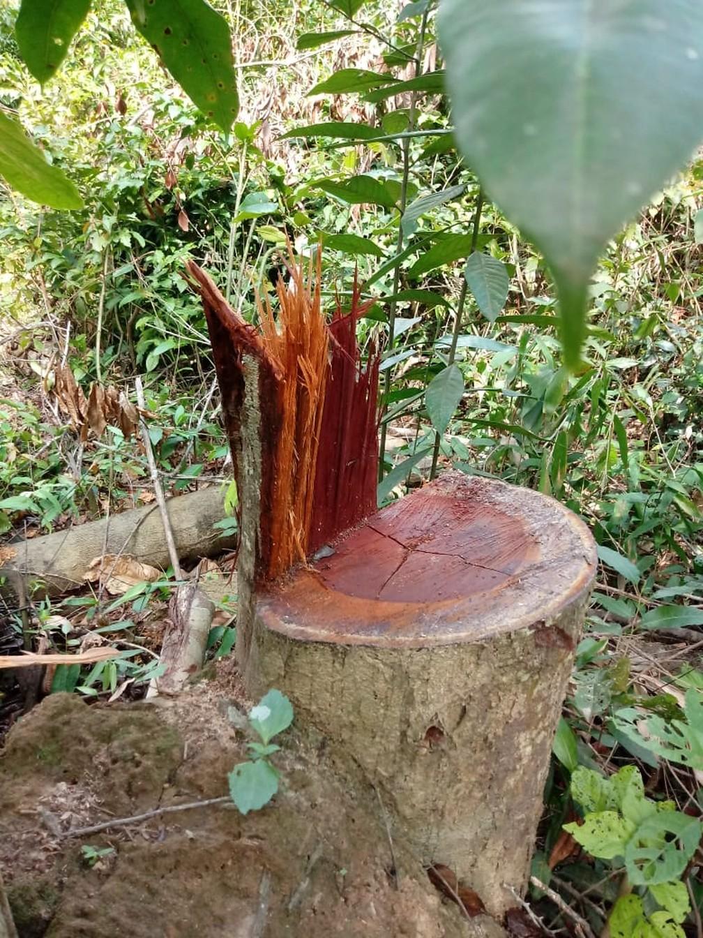 Madeira retirada da terra indígena em Confresa — Foto: Divulgação