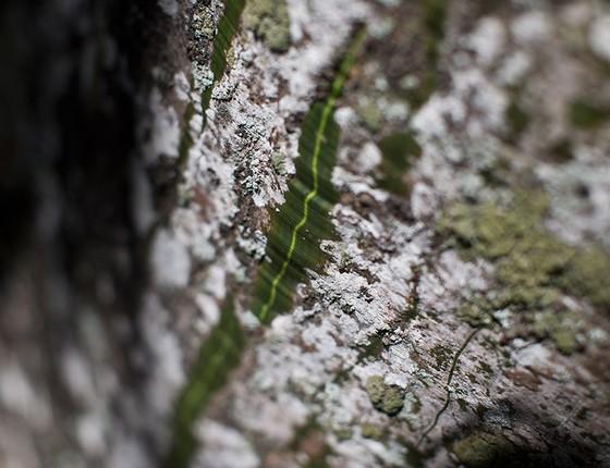 O castanheiro-do-maranhão, cuja casca parece retratar o labirinto de rios da Amazônia (Foto: Márcia Foletto / Agência O Globo)