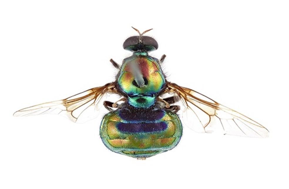 Nova mosca Opaluma rupaul, homenagem a RuPaul, uma das drags mais famosas do mundo — Foto: CSIRO