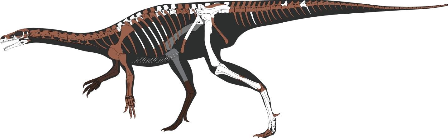 Representação esquemática do esqueleto de Bagualosaurus agudoensis; ossos preservados representados em cor mais clara. (Foto: Flávio Pretto)