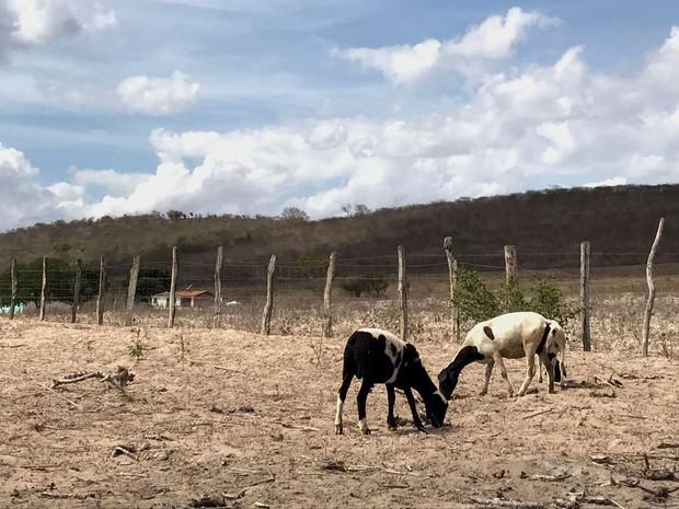 Animais não encontram comida em pastos secos (Foto: Alan Tiago Alves/G1)