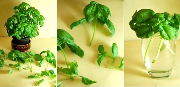 Para criar um vaso cheios de manjericão, você precisa apenas de uma folha (Foto: Urban Gardener/ Reprodução)