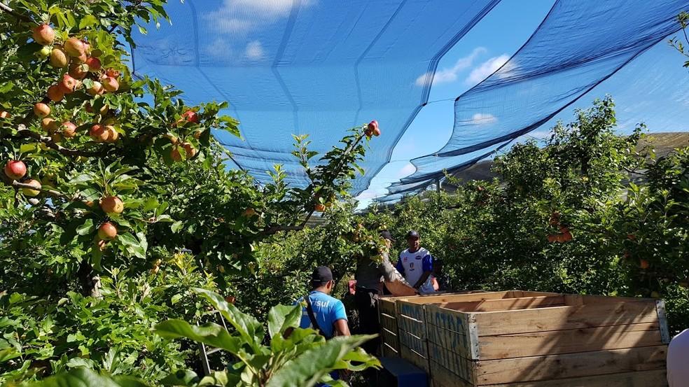 Mais de 2 mil produtores trabalham com a colheita da maçã em São Joaquim — Foto: Mychel Hudson Legnaghi/São Joaquim Online