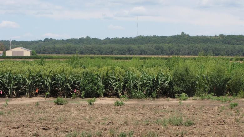 agricultura-amaranthus-eua (Foto: Dallas Peterson/KSU)