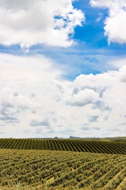 O vinhedo de Gamay: uva francesa se adaptou bem à Campanha Meridional