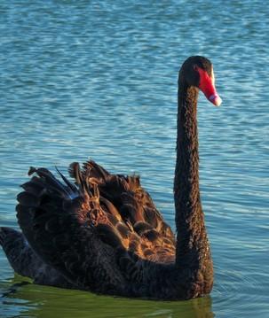 Estudar genoma do cisne-negro pode evitar uma futura pandemia