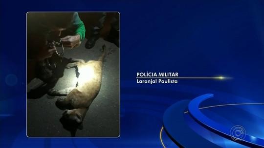 Filhote de onça-parda é resgatado ferido em acostamento de rodovia em Laranjal Paulista