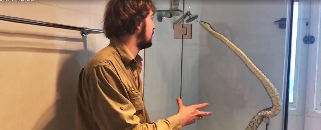 Cobra encontrada no banheiro de uma residência australiana (Foto: Reprodução/Facebook)