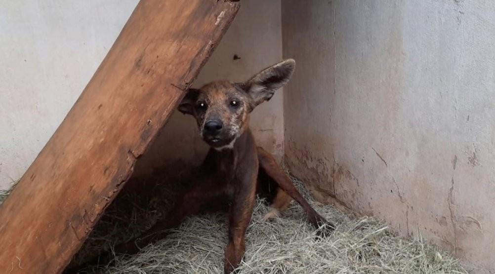 Lobo-guará resgatado em São Carlos passará por cirurgia antes de ser devolvido à natureza